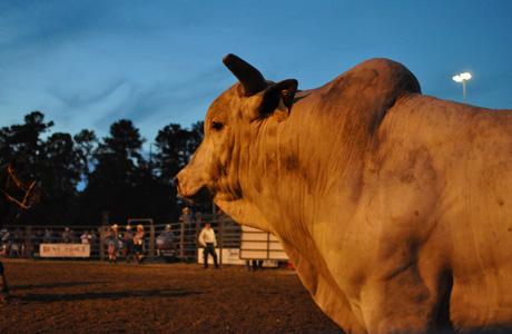 May 2011: Bull at Dusk