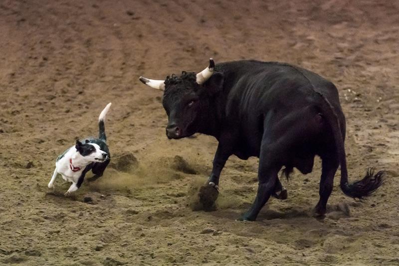 Bull Dog Action 4