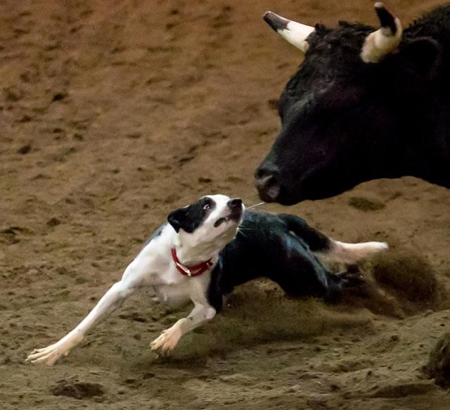 Bull Dog Action Closeup