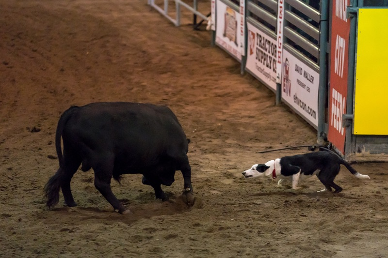 Bull Dog Action 5