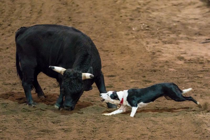 Bull Dog Action 2