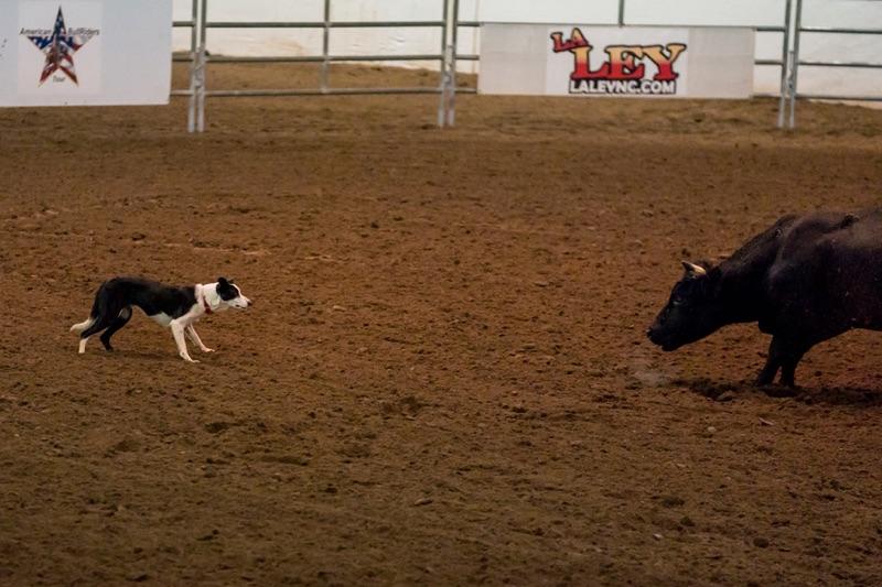 Bull and Dog 2